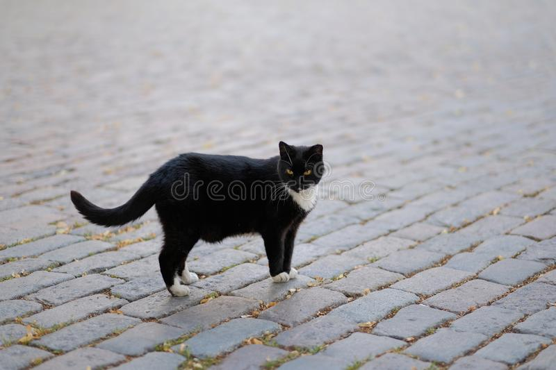 Black-and-white cat goes on stone blocks. Portrait of a black cat with a white breast and pads going on stone blocks stock photography