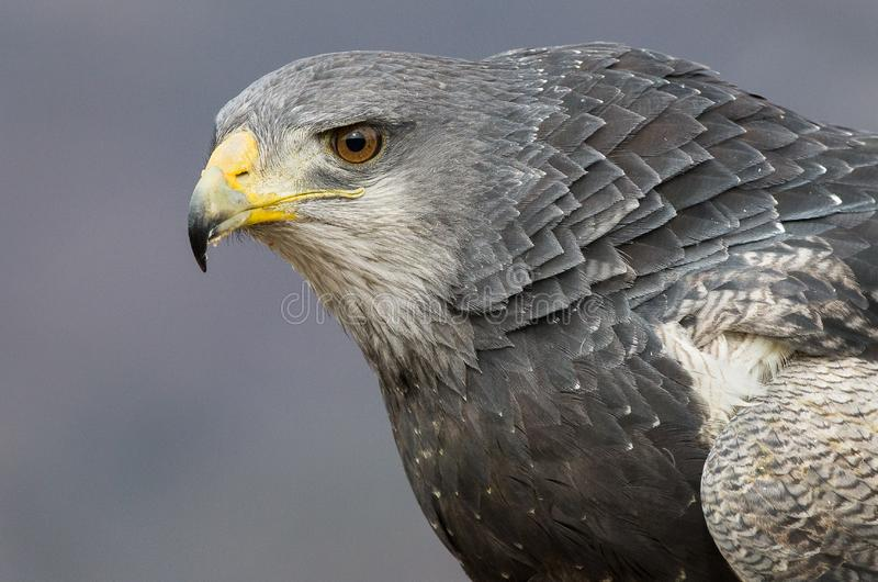 Portrait of a black chested buzzard eagle royalty free stock photography