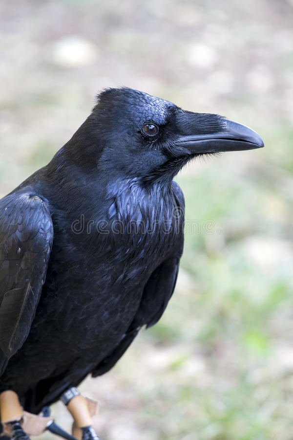 Portrait of black crow standing - common raven stock images