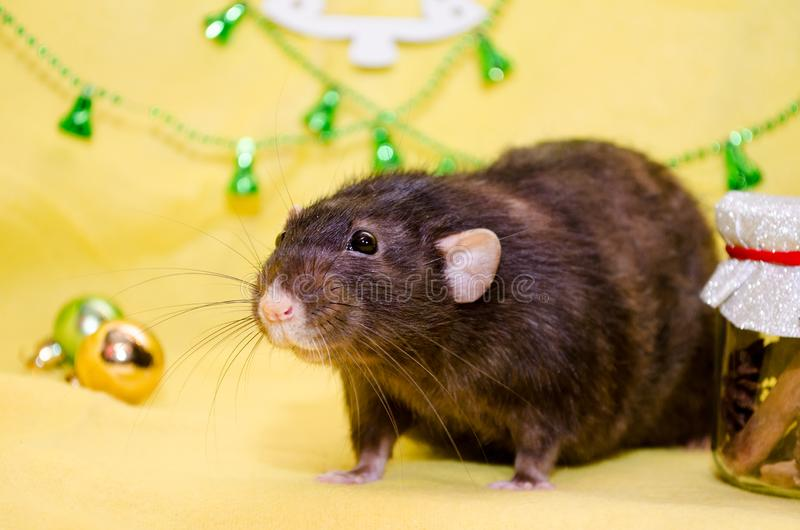Portrait of black cute funny rat, sits in New Year decorations on yellow color with Christmas bells, symbol of 2020. Portrait of black cute rat with funny ears royalty free stock images