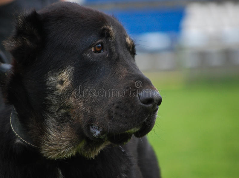 Download Portrait Black Dog Looking Right Stock Image - Image of portrait, background: 14025883