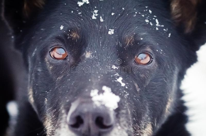 Portrait of a black dog with snow on the face close-up.  royalty free stock photography