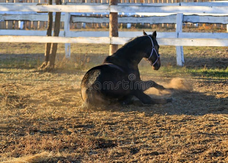 Portrait black dressage horse stock images