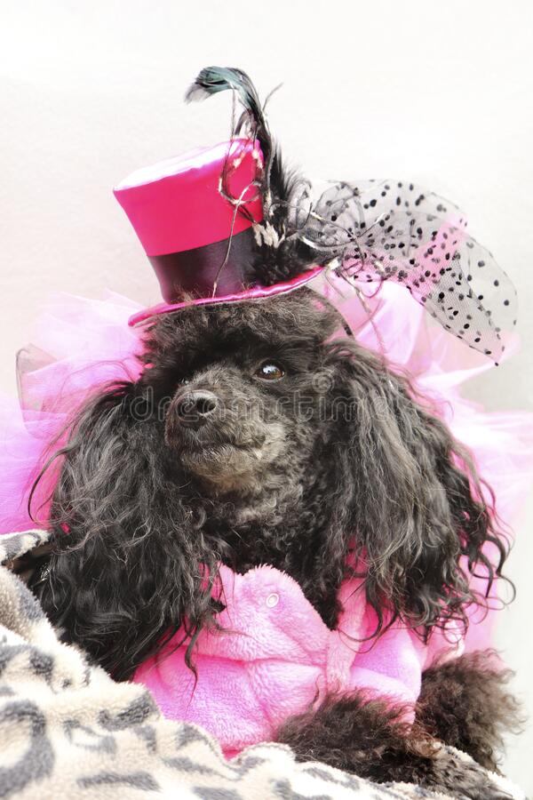 Portrait of a black dwarf poodle in a fashionable pink suit with a hat on his head stock photography