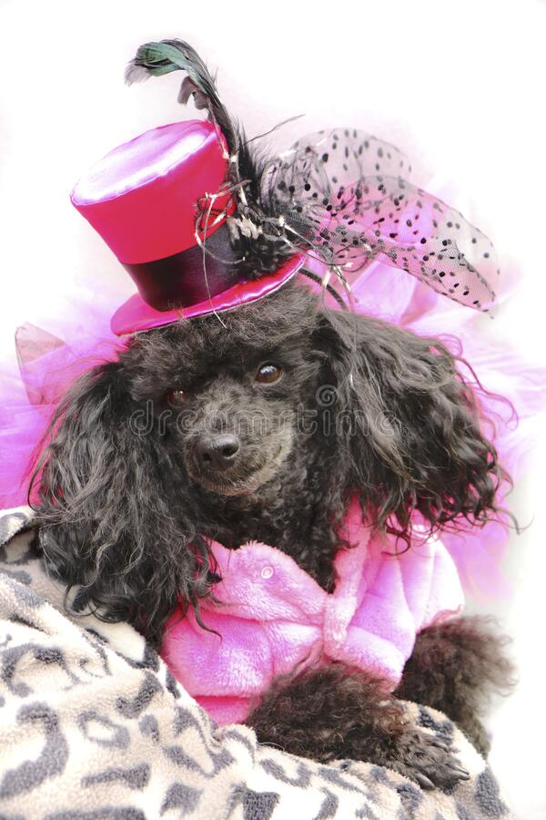 Portrait of a black dwarf poodle in a fashionable pink suit with a hat on his head royalty free stock photos