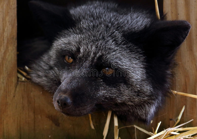 Portrait of a black fox with head laying outside of a box royalty free stock image