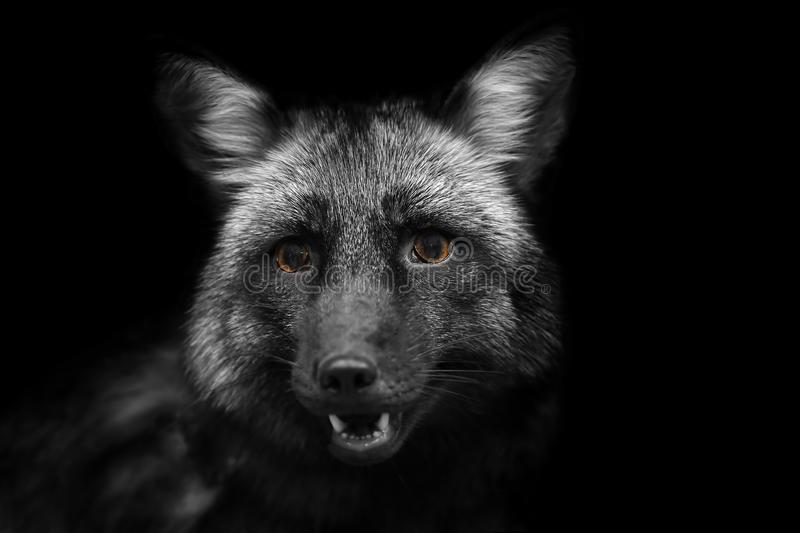 Portrait of a black Fox with yellow eyes in black and white format royalty free stock images