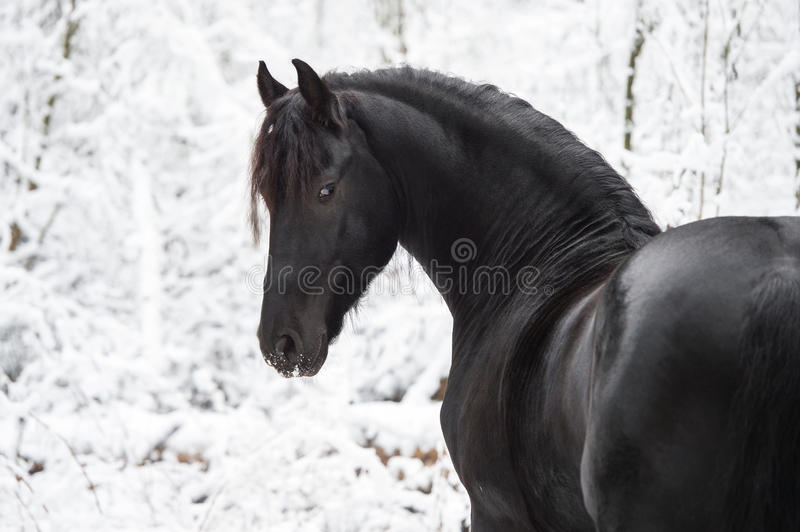 Portrait of black Friesian horse on winter background stock images