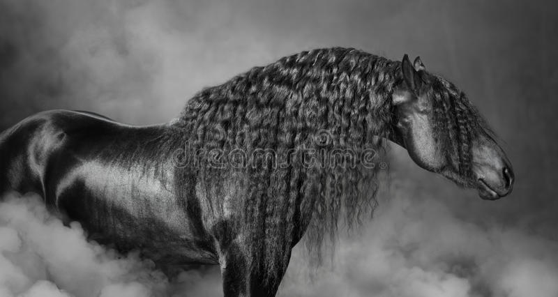 Portrait of black Frisian horse with long mane in the smoke stock image