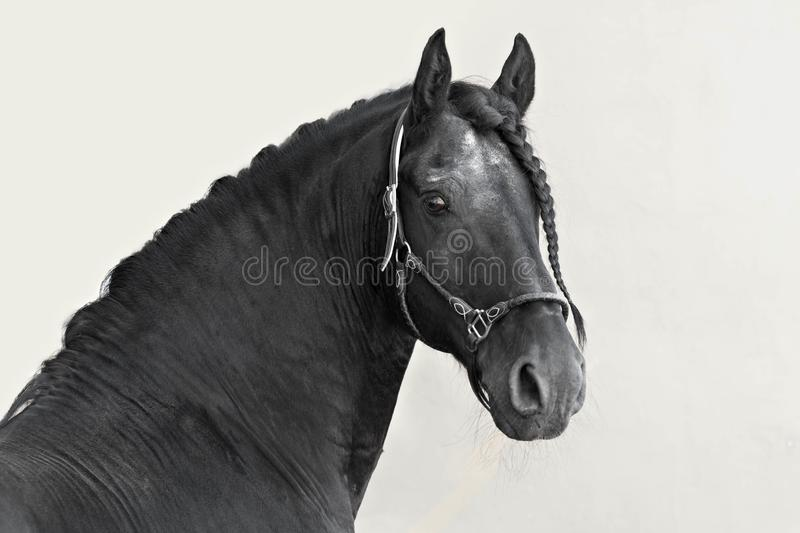 Portrait of a black Frisian stallion on a light background. royalty free stock photo