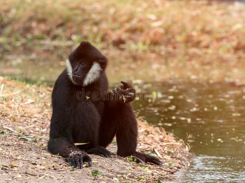 Portrait of black gibbon white-cheeked gibbon sitting stock photography