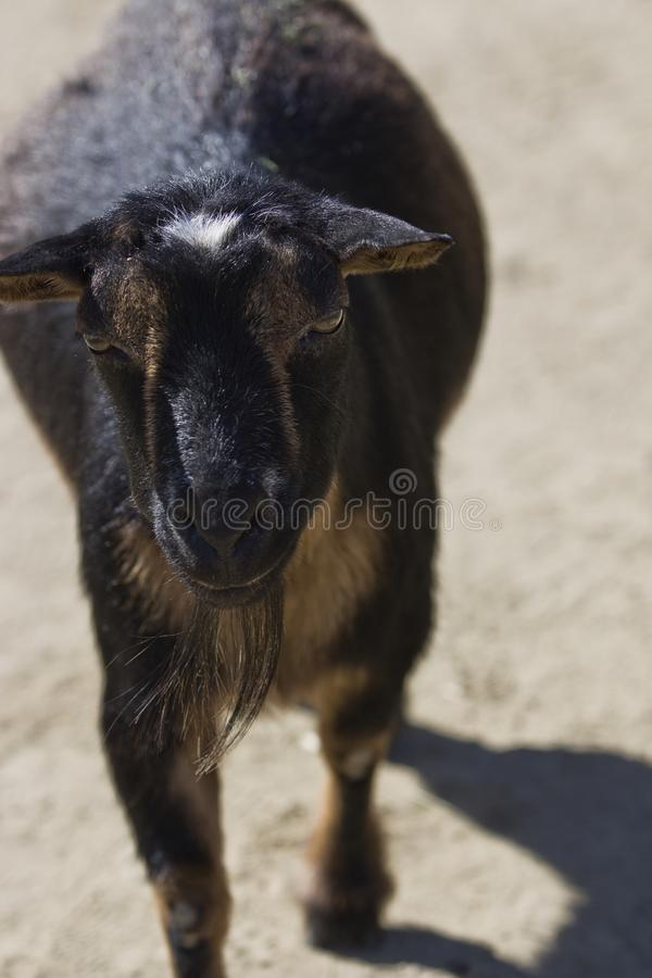 Portrait of a Black Goat royalty free stock photo