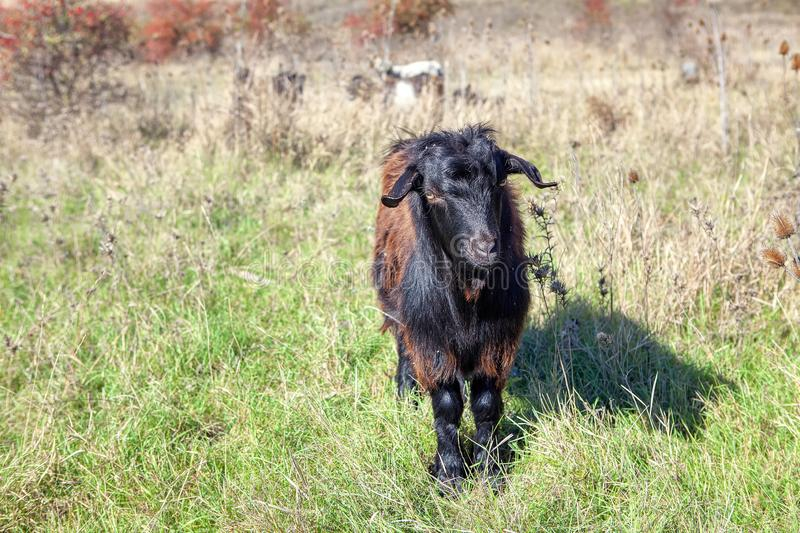 Portrait of black goat stock images