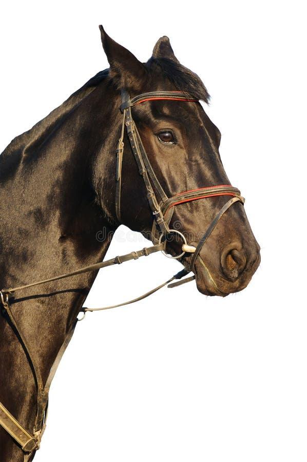 Portrait Of Black Horse Royalty Free Stock Photo