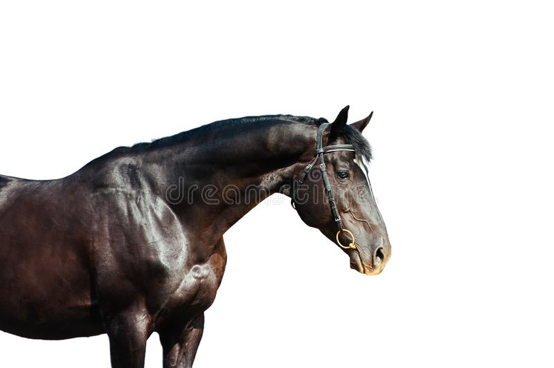 Portrait of a black horse isolated on white background stock photos