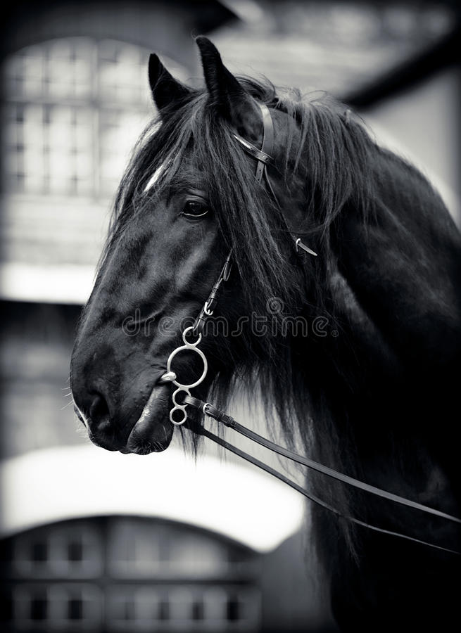 Download Portrait of a black horse. stock photo. Image of livestock - 42335006