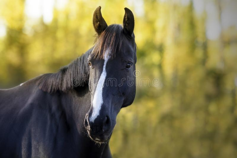 Portrait of a black jumping horse with white stripe on his forehead. Foreground of a black stunning jumping horse with a white stripe on its forehead, in an stock images