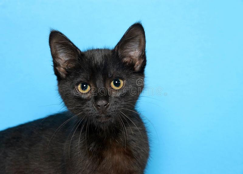 Portrait of a black kitten looking directly at viewer, blue background. Portrait of an adorable black kitten looking intently directly at viewer, blue background stock photos