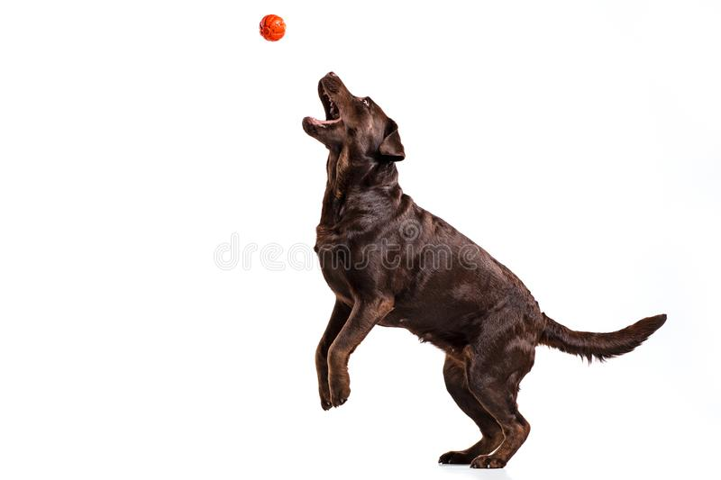 The black Labrador dog playing with ball isolated on white. A portrait of a black Labrador dog playing with ball isolated on white background stock image