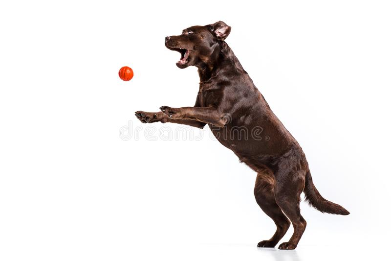 The black Labrador dog playing with ball isolated on white. A portrait of a black Labrador dog playing with ball isolated on white background royalty free stock photography
