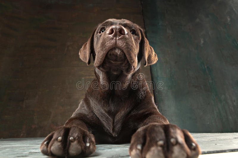 The portrait of a black Labrador dog taken against a dark backdrop. A portrait of a black Labrador dog taken against a black backdrop at studio royalty free stock photo