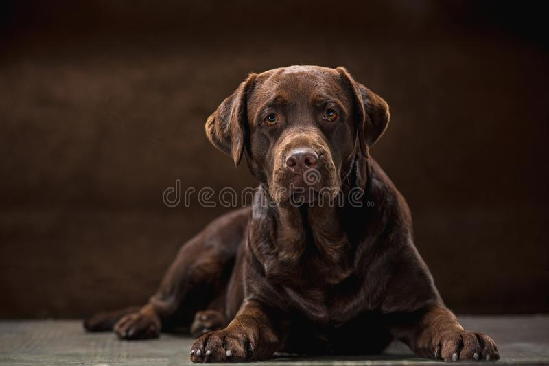 The portrait of a black Labrador dog taken against a dark backdrop. A portrait of a black Labrador dog taken against a black backdrop at studio stock images