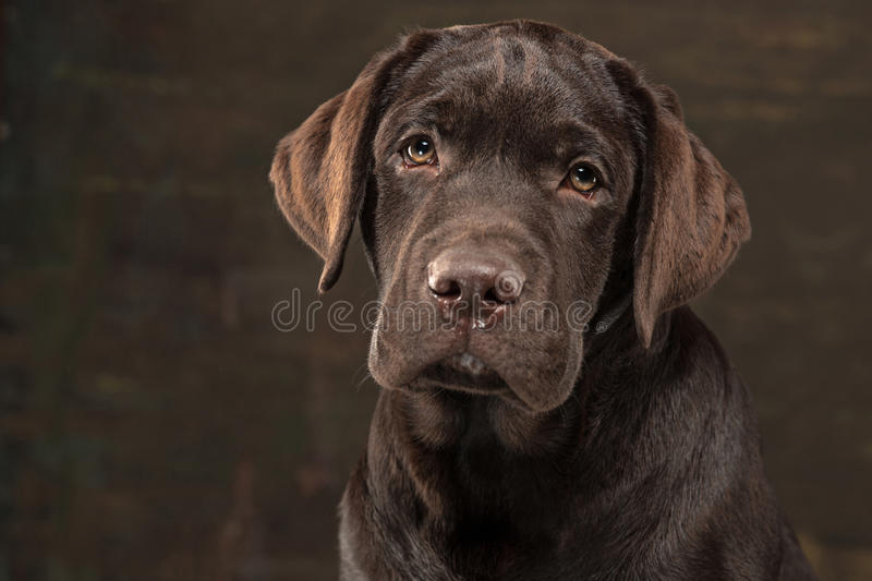 The portrait of a black Labrador dog taken against a dark backdrop. A portrait of a black Labrador dog taken against a black backdrop at studio stock photos