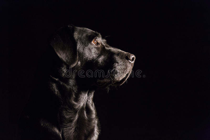 Portrait of a black labrador. At home royalty free stock image