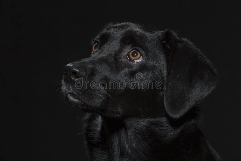 Portrait of a black labrador stock photography