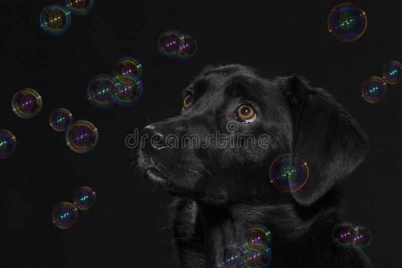 Portrait of a black labrador with soap bubbles stock photography