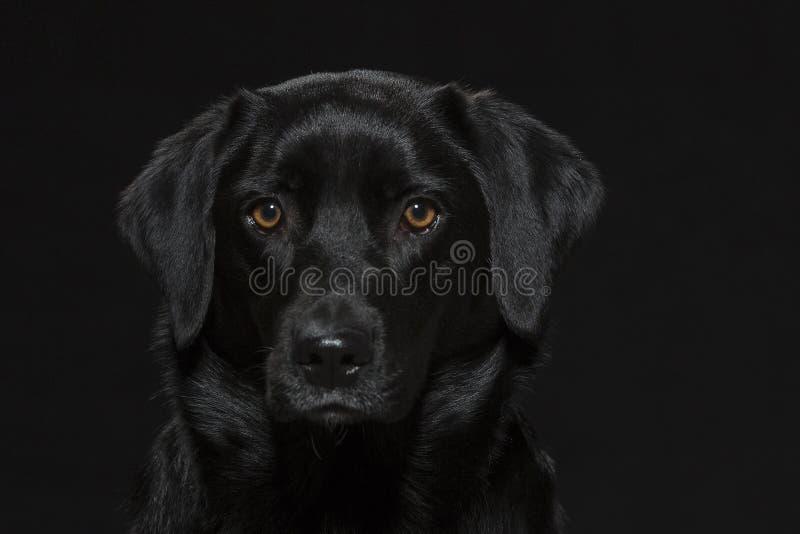 Portrait of a black labrador royalty free stock image