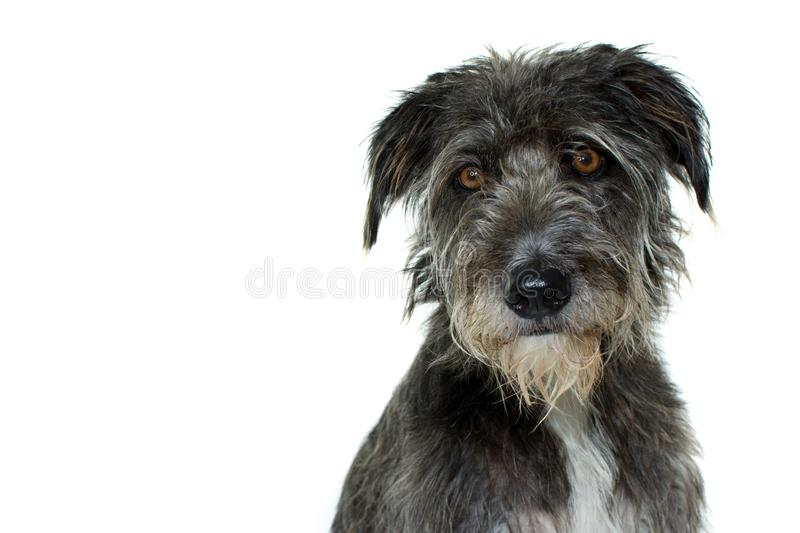 PORTRAIT OF A BLACK MIXED BREED DOG WITH SERIOUS EXPRESSION ISOLATED AGAINST WHITE BACKGROUND. STUDIO SHOT stock photography