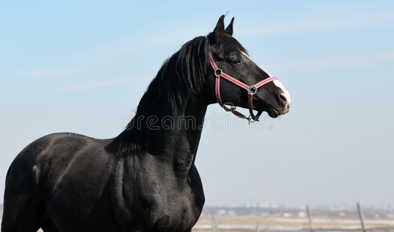 Download Portrait of black mustang stock photo. Image of profile - 23267406