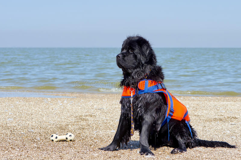 Portrait of a black Newfoundland dog. On the coast of the Sea of Azov stock images