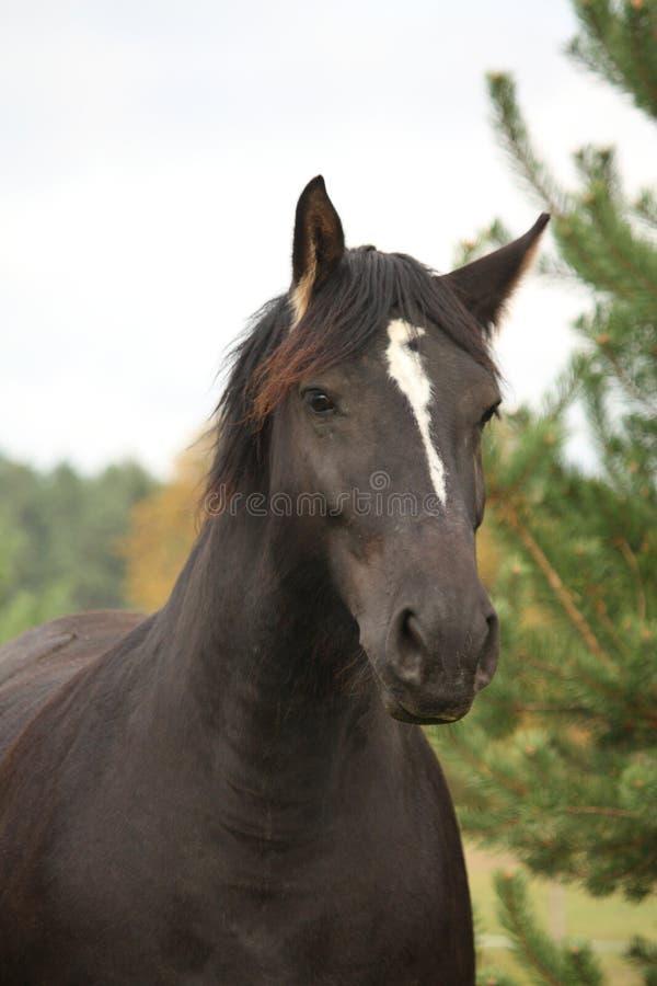 Download Portrait Of Black Percheron In Autumn Stock Photos - Image: 38154523
