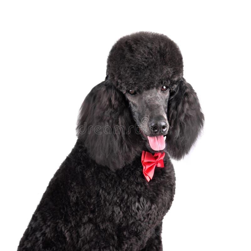 Portrait of black poodle royalty free stock images