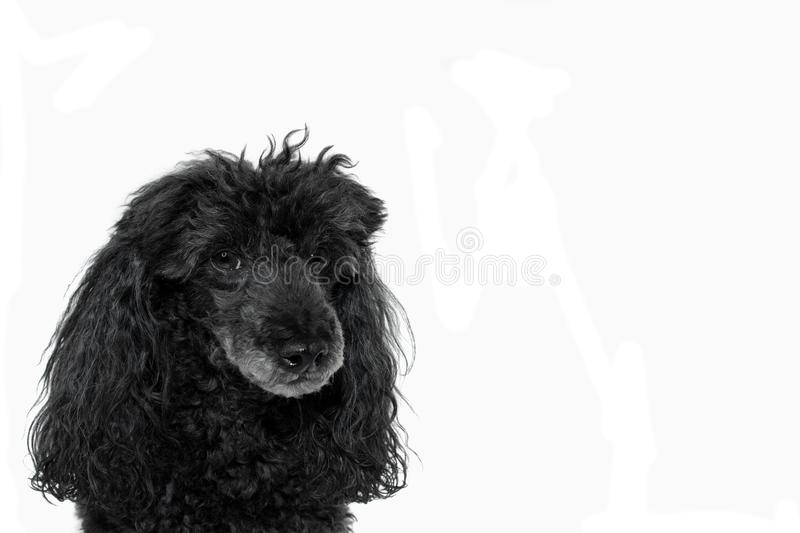 PORTRAIT OF A BLACK POODLE ISOLATED ON WHITE BACKGROUND. HORIZON royalty free stock photo
