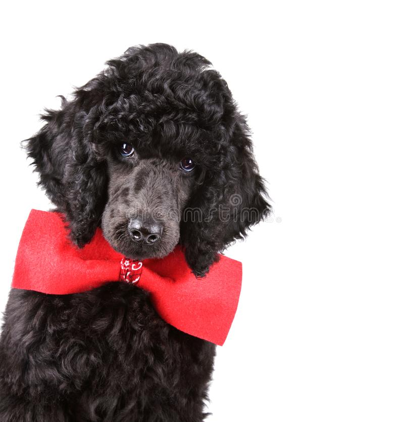 Portrait of black poodle puppy. Portrait of three months old puppy standart black poodle in red necktie isolated on a white background royalty free stock photos