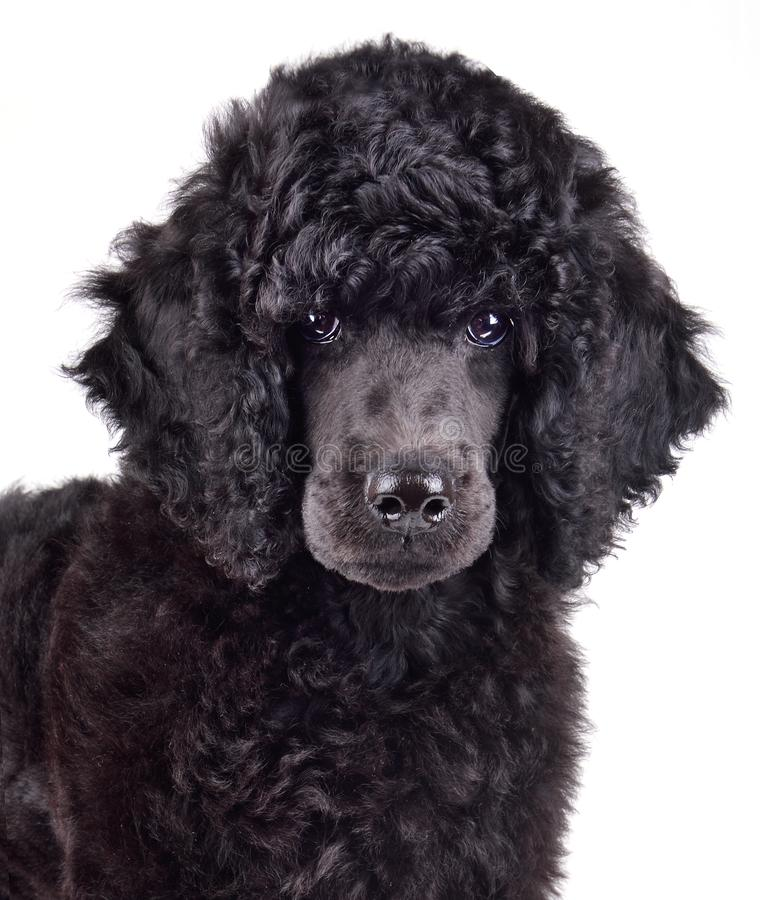 Portrait of black poodle puppy royalty free stock photos