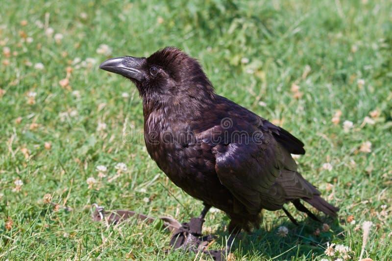 Portrait of black raven