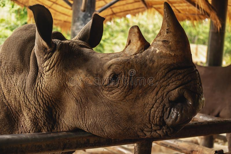 Black rhino. Portrait of a black rhino royalty free stock photos
