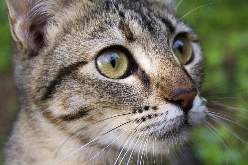 Portrait of black tabby cat on outdoors. Portrait of black tabby cat on  outdoors royalty free stock photography
