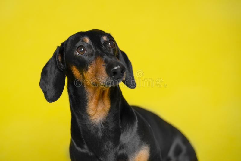 Portrait black and tan cute cute dachshund  on the isolated yellow background. Dog training. Space for writing text letters stock image