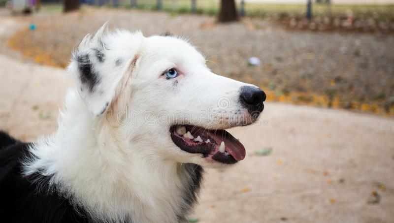 Portrait of a black and white Border Collie with blue eyes.  royalty free stock image