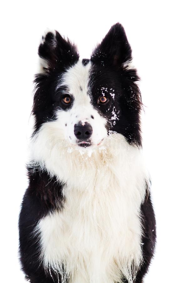 Portrait of black and white border collie with snow on her face, young dog at white background stock photo