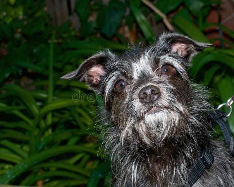 portrait of a black and white border terrier mix dog looking up, plants in background stock images