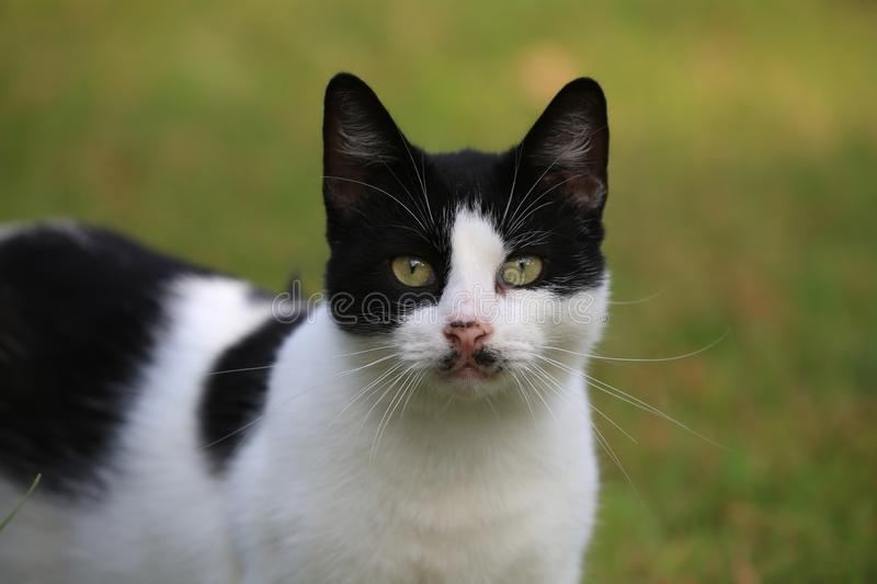 Portrait of a black-and-white cat with an inquisitive glance on блюр a green background, a close up royalty free stock photo