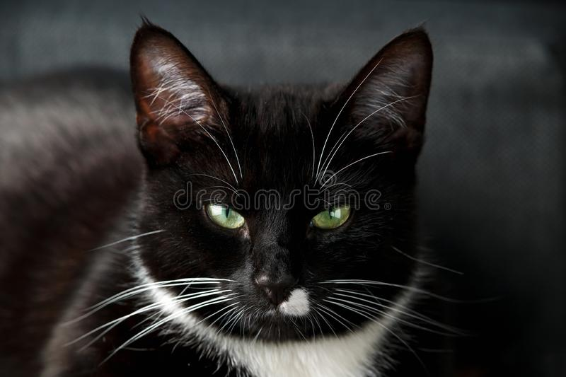 Portrait of a black and white domestic cat with green eyes royalty free stock photos
