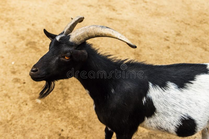 Portrait of black and white goat with horns stock photography