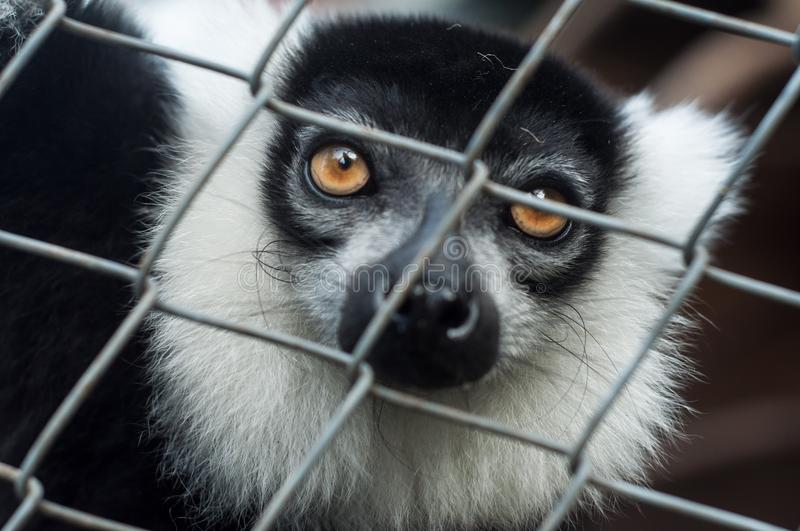 Black and white lemur behing a metallic fence. Portrait of black and white lemur behing a metallic fence royalty free stock images